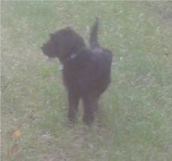 Stich, chien Griffon fauve de Bretagne