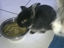 Stich, rongeur Lapin