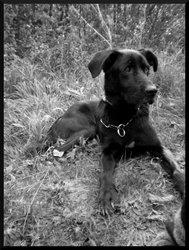 Stich, chien Labrador Retriever