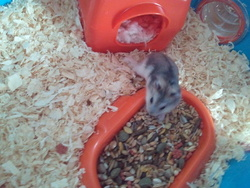 Stich, rongeur Hamster