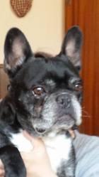 Sticht, chien Bouledogue français