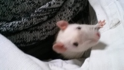 Stiffler, rongeur Rat
