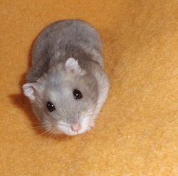 Stitch, rongeur Hamster