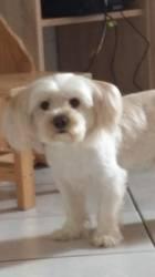 Stitch, chien Bichon maltais