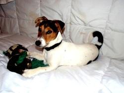 Stitch, chien Jack Russell Terrier