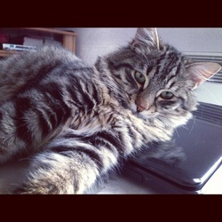 Stitch, chat Maine Coon