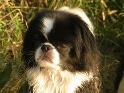 Stitch, chien Épagneul japonais