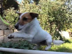 Stitch, chien Jack Russell Terrier