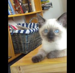 Stitch, chat Siamois