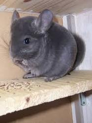 Stitch, rongeur Chinchilla