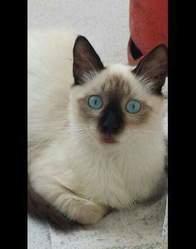 Stitsh, chat Siamois