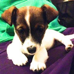 Stoja, chien Jack Russell Terrier