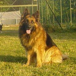 Stok, chien Berger allemand