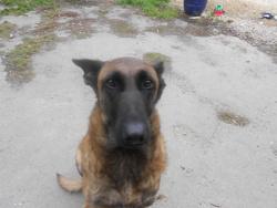 Stone, chien Berger belge
