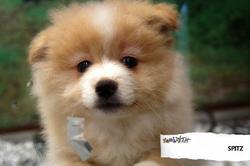 Stone, chien Spitz allemand