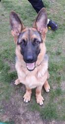 Storm, chien Berger allemand