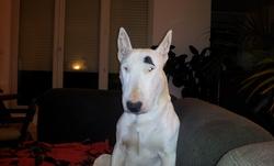Storminou, chien Bull Terrier
