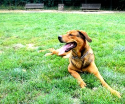 Story, chien Beauceron