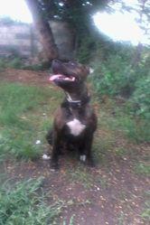 Strayka, chien Staffordshire Bull Terrier