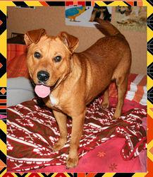 Strike, chien American Staffordshire Terrier