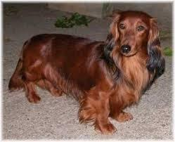 Stromae, chien Teckel