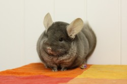 Stroumphette, rongeur Chinchilla