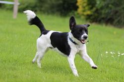 Stryker, chien Jack Russell Terrier