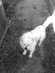 Stuart, chien Bichon maltais