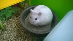 Stuart, rongeur Hamster