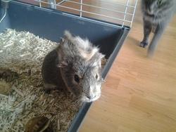 Stuarte, rongeur Cochon d'Inde