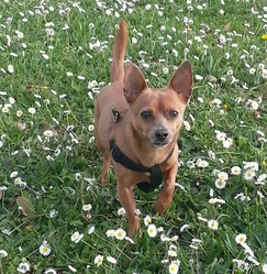 Stytch, chien Chihuahua