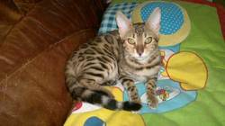 Suadela, chat Bengal