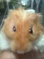 Sucette, rongeur Hamster