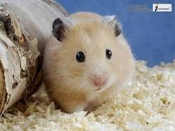 Sucre, rongeur Hamster