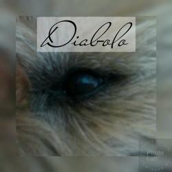 Diabolo, chien Cairn Terrier