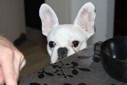Sue, chien Bouledogue français