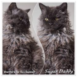 Sugar Daddy, chat Selkirk Rex