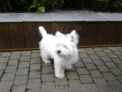 Sugus, chien West Highland White Terrier