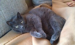 Sugus, chat Chartreux