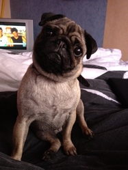 Suki, chien Carlin