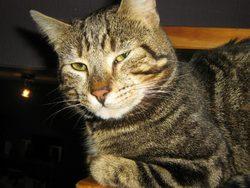 Suki, chat Sokoke