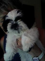 Suki, chien Shih Tzu