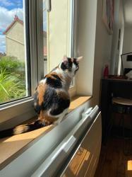 Suki, chat Européen