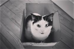 Sulli, chat Européen