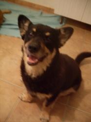 Sultan, chien Welsh Corgi