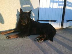 Sultan, chien Beauceron