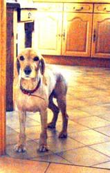 Sultan, chien Cocker anglais