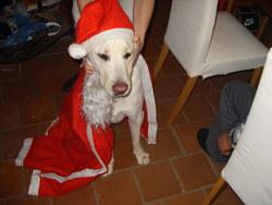 Sultan, chien Labrador Retriever