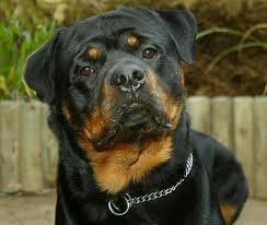 Sultan, chien Rottweiler