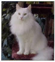 Sultan, chat Angora turc